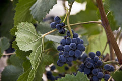 Bunch of ripe juicy grapes on a branch. Ripe juicy bunch of grapes hanging on a branch Royalty Free Stock Photos