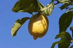 Bunch of ripe lemons Royalty Free Stock Photo