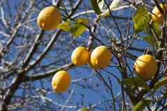 Bunch of ripe lemons Stock Image