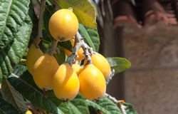 Bunch of ripe loquats in tree. Stock Images