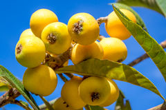 Bunch of ripe loquats in the tree Royalty Free Stock Photos