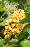Bunch of ripe muscat grapes closeup, sunlit Royalty Free Stock Image