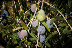 Bunch of ripe olives Royalty Free Stock Photo