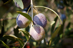 Bunch of ripe olives Stock Photography