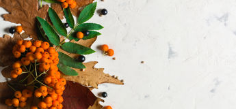 A bunch of ripe orange mountain ash with green leaves. Autumn dry leaves. Black berries. White stone or plaster royalty free stock photography