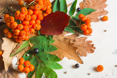 A bunch of ripe orange mountain ash with green leaves. Autumn dry leaves. Black berries. White stone or plaster stock photos