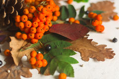 A bunch of ripe orange mountain ash with green leaves. Autumn dry leaves. Black berries. White stone or plaster. Background. View from above. Copy space Stock Photos