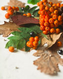 A bunch of ripe orange mountain ash with green leaves. Autumn dry leaves. Black berries. White stone or plaster. Background. View from above. Copy space Stock Photography