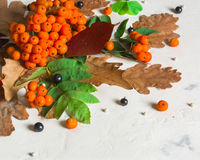 A bunch of ripe orange mountain ash with green leaves. Autumn dry leaves. Black berries. White stone or plaster. Background. View from above. Copy space Stock Images