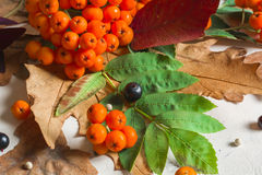 A bunch of ripe orange mountain ash with green leaves. Autumn dry leaves. Black berries. White stone or plaster. Background. View from above. Copy space Royalty Free Stock Photos