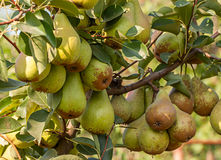 Bunch of ripe pears on tree branch. Pear trees laden with fruit in an orchard in the sun Royalty Free Stock Photos