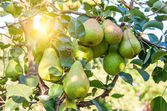 Bunch of ripe pears on tree branch Royalty Free Stock Photos