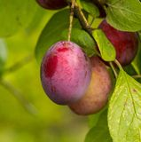 The bunch with ripe plums at garden Stock Photography