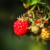 Bunch of Ripe Raspberry with leaves in the fruit garden macro. G Royalty Free Stock Image