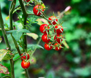 Bunch of ripe red cherry tomatoes on a green bush. A bunch of ripe red cherry tomatoes on a green bush, close up Royalty Free Stock Image