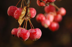 A bunch of ripe red crab apples. Close-up Stock Image