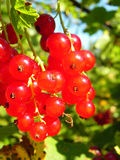 Bunch of ripe red currant berries on a bush. Royalty Free Stock Photos