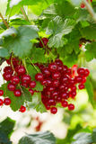 Bunch of ripe red currants on a branch royalty free stock photos