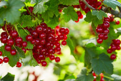 Bunch of ripe red currants royalty free stock image