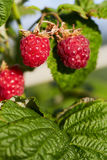 Bunch of ripe red raspberries Royalty Free Stock Images