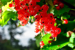 The bunch of ripe redcurrant Royalty Free Stock Photography