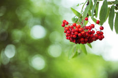 Bunch of ripe rowan hanging on tree Stock Images
