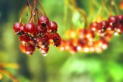 Rowanberry after cold autumn rain. Bunch of ripe rowanberry after cold autumn rain Royalty Free Stock Image