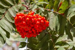 Ripe rowanberry fruit on rowan tree with leaves. Bunch of ripe rowanberry fruit on rowan tree with leaves Stock Photography