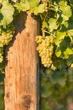 Bunch of ripe Sauvignon Blanc grapes growing in vineyard. With copy space and blurred background Stock Photos