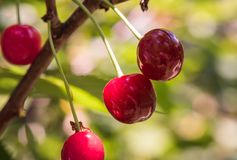 Bunch of ripe sour cherries hanging on a tree Stock Photo