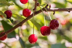 Bunch of ripe sour cherries hanging on a tree Royalty Free Stock Photo