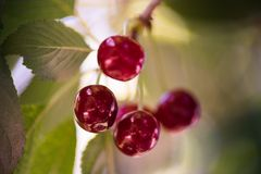 Bunch of ripe sour cherries hanging on a tree Royalty Free Stock Photography