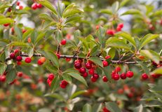Bunch of ripe sour cherries hanging on a tree Royalty Free Stock Images