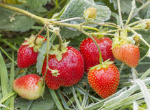 Bunch of ripe strawberries Royalty Free Stock Images