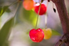 Bunch of ripe sweet cherries hanging on a tree Stock Images