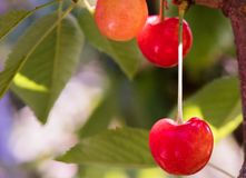 Bunch of ripe sweet cherries hanging on a tree Stock Image