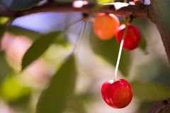 Bunch of ripe sweet cherries hanging on a tree Royalty Free Stock Image