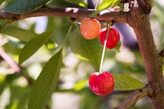 Bunch of ripe sweet cherries hanging on a tree Royalty Free Stock Photos