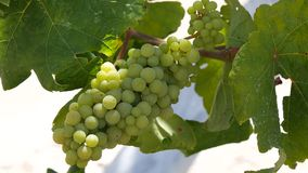Bunch of Ripe Sweet Flavored White Grapes in a Farm.  stock footage