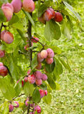 Bunch with ripe tasty plums at garden Stock Image