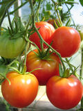Bunch of ripe tomatoes. On the bed Royalty Free Stock Photo