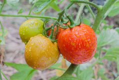 Bunch of ripe tomatoes on branch in the garden Stock Photography