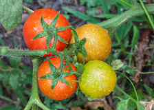 Bunch of ripe tomatoes on branch in the garden Stock Photo