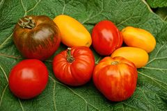 Red and yellow ripe tomatoes on a green leaf. A bunch of ripe tomatoes on a green leaf of a plant Stock Photography