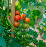 Bunch of ripe tomatoes red surrounded by green leaves Stock Image