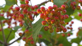 Bunch of ripe Viburnum wind shakes stock footage