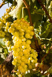 Bunch of ripe white grapes close up Royalty Free Stock Photo