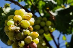 Bunch Of Ripe White Wine Grapes Hanging On Vine In Sunlight. A close-up shot of a bunch of ripe white wine grapes hanging on a vine bathing in the sunlight Royalty Free Stock Photography