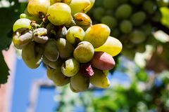 Bunch Of Ripe White Wine Grapes Hanging On Vine In Sunlight. A close-up shot of a bunch of ripe white wine grapes hanging on a vine bathing in the sunlight Royalty Free Stock Image