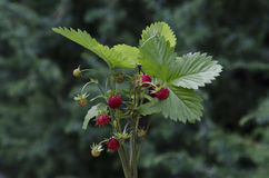 Bunch of ripe wild strawberry fruits Stock Images
